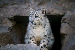 Snow leopard portrait Royalty Free Stock Photo