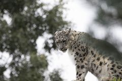 Snow leopard, portrait stock images