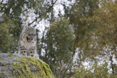 Snow leopard portrait. Close up Royalty Free Stock Photo