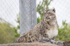 Snow leopard. Is a powerful wild cat Stock Photos