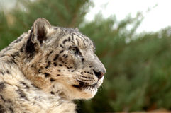 Snow leopard in profile. With green foliage background Royalty Free Stock Images