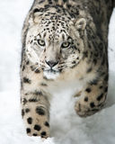 Snow Leopard on the Prowl III Royalty Free Stock Photography
