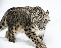 Snow Leopard on the Prowl IV Royalty Free Stock Image
