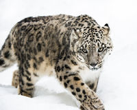 Snow Leopard on the Prowl IV. Frontal portrait of Snow Leopard walking in snow Stock Photo