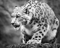 Snow Leopard on the Prowl Stock Photography