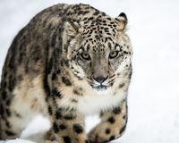 Snow Leopard on the Prowl V Royalty Free Stock Image