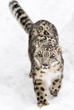 Snow Leopard on the Prowl V Royalty Free Stock Photos