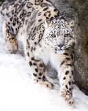 Snow Leopard on the Prowl VII Royalty Free Stock Image