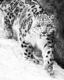 Snow Leopard on the Prowl VII Royalty Free Stock Images