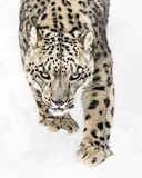 Snow Leopard on the Prowl X Royalty Free Stock Photos