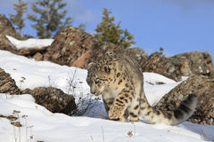 Snow Leopard on Prowl. Snow Leopard walking in mountain snow Stock Images