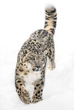 Snow Leopard on the Prowl XI Stock Photography
