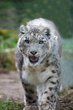Snow Leopard Prowling Royalty Free Stock Photos