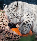 Snow leopard with pumpkin Stock Photos
