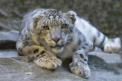 Snow Leopard, Reclining Staring Royalty Free Stock Image