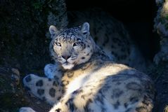 Snow leopard relaxing Stock Images