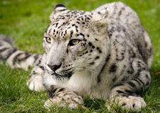 Snow Leopard at Rest. A Snow Leopard waiting to pounce, taken in a sanctuary in the UK Stock Photo