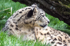 Snow leopard resting, looking away. From the camera Royalty Free Stock Photo