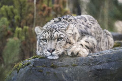 Snow Leopard. Resting on a rock Royalty Free Stock Image
