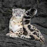 Snow Leopard Tail royalty free stock photography