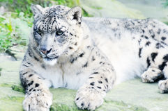 Snow leopard on rock Royalty Free Stock Photo