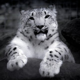 Snow leopard on a rock. In black & white Royalty Free Stock Photos