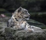 Snow leopard on the rock stock photo