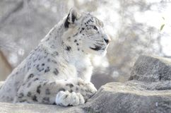 Snow leopard on rocks. A female snow leopard rests on the rocks Stock Image