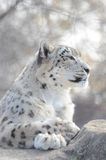 Snow leopard on the rocks2 Royalty Free Stock Photography