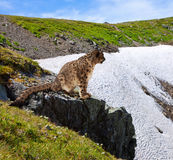Snow leopard  on rocky Stock Photo