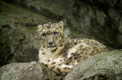Snow Leopard at Roger Williams Zoo. Royalty Free Stock Images