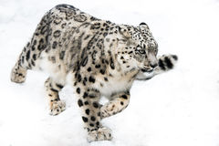 Snow Leopard on the Run Royalty Free Stock Images
