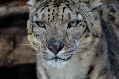 Snow Leopard's Expression. A closeup of the face of a snow leopard Stock Image