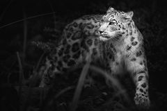 Snow leopard,Panthera uncia,large cat native to the mountain ranges of Central and South Asia. The snow leopard`s fur is whitish to gray with black spots on head royalty free stock photo