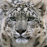 Snow leopard's portrait royalty free stock images