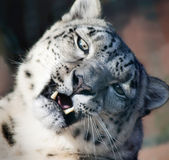 Snow leopard's portrait. Photo of snow leopard's portrait from zoo Royalty Free Stock Images