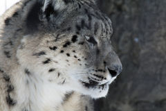 Snow Leopard. A snow leopard sits, watching in stillness Stock Image
