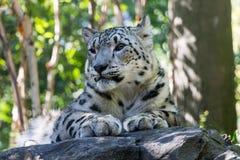 Snow Leopard Stock Photos