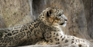 Snow leopard. S are endangered creatures Royalty Free Stock Photos