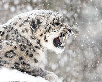 Snow Leopard In Snow Storm II Royalty Free Stock Photo