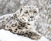 Snow Leopard In Snow Storm III Royalty Free Stock Photography