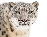 Snow Leopard in Snow V. Frontal Portrait of Snow Leopard Against a White Background royalty free stock images
