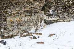 Snow Leopard. In a snowy forest hunting for prey Stock Photography