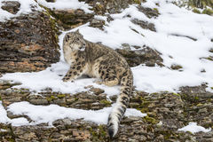 Snow Leopard. In a snowy forest hunting for prey Stock Images