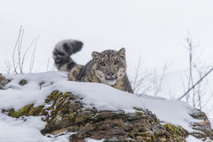 Snow Leopard. In a snowy forest hunting for prey Stock Photos