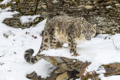 Snow Leopard. In a snowy forest hunting for prey Royalty Free Stock Photos