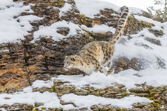Snow Leopard. In a snowy forest hunting for prey Stock Photo
