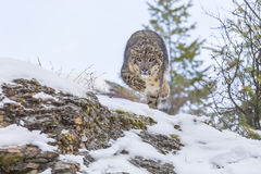 Snow Leopard. In a snowy forest hunting for prey Royalty Free Stock Image