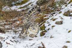Snow Leopard. In a snowy forest hunting for prey Royalty Free Stock Photo