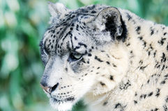 Snow Leopard Stalking. Closeup detail of snow leopard face Stock Image